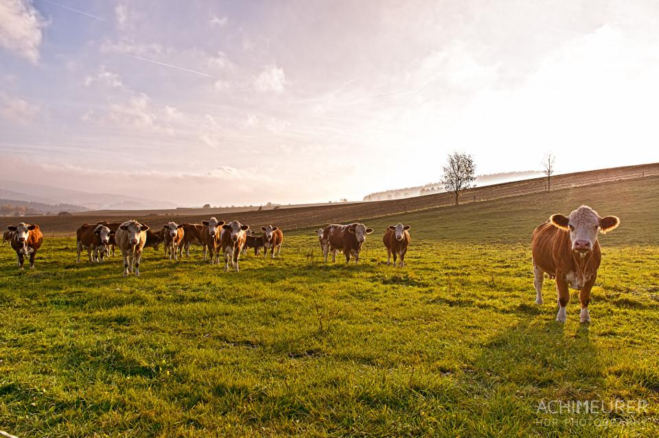 Sonnenuntergang mit Kühen im Erzgebirge