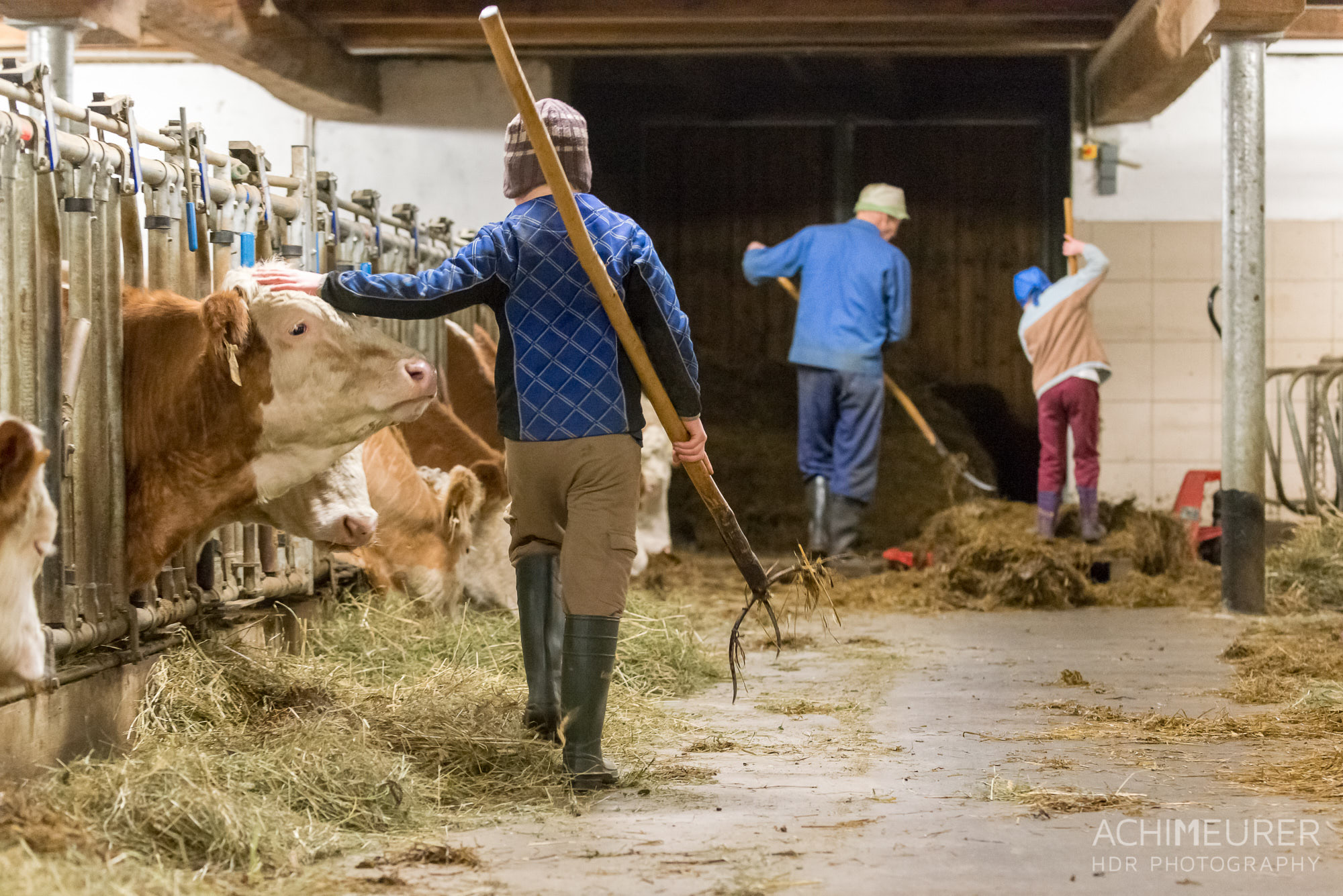 Der Nachwuchsbauer streichelt im Vorbeigehen seine Kühe by Array.