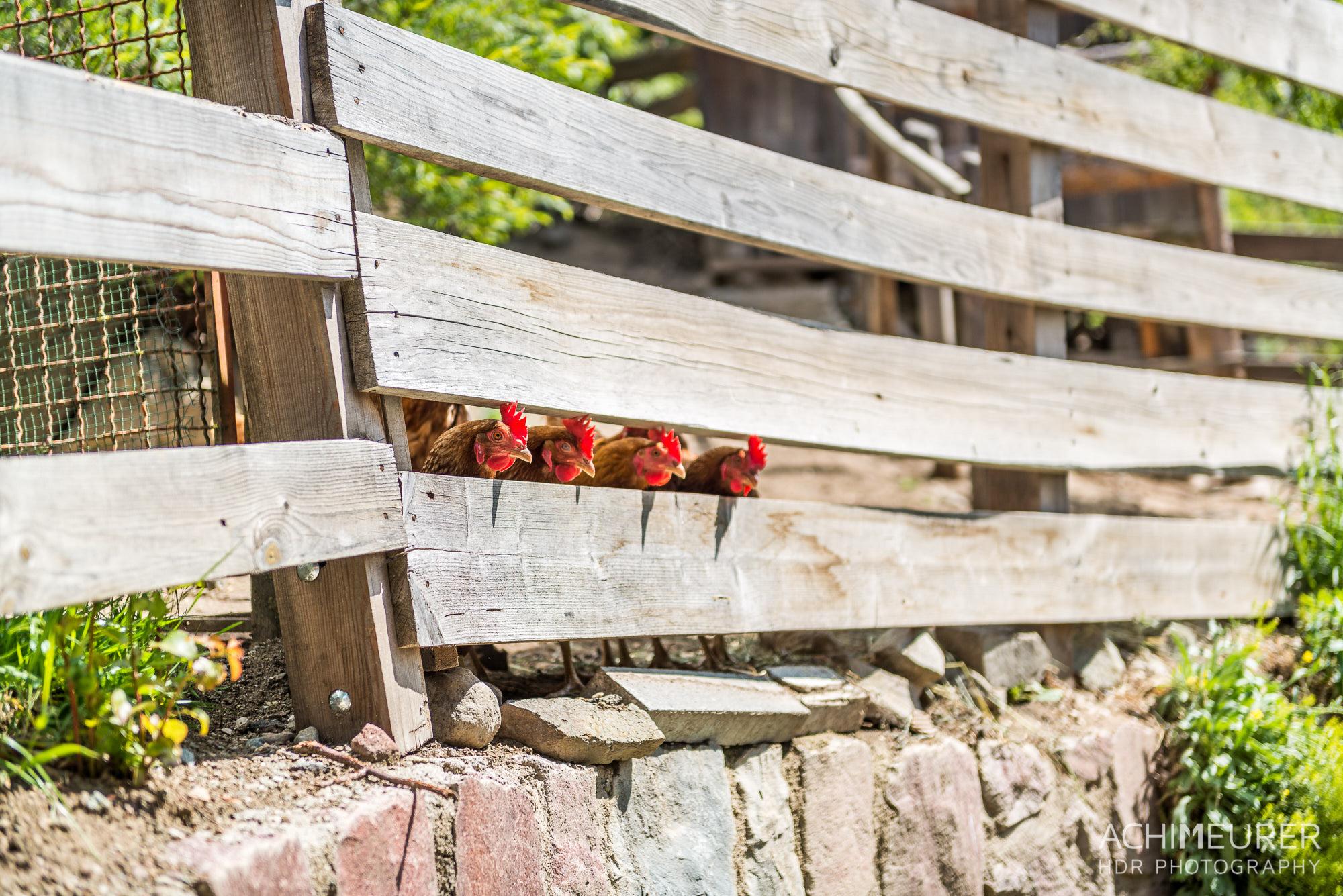 Vier neugierige Hühner by Array.