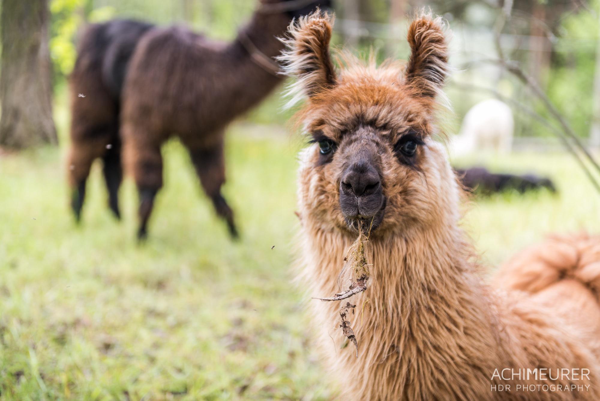 """""""Hä?"""" - ein Lama am Wegesrand während einer Wanderung auf dem Ritten, Südtirol, Italien by Array."""