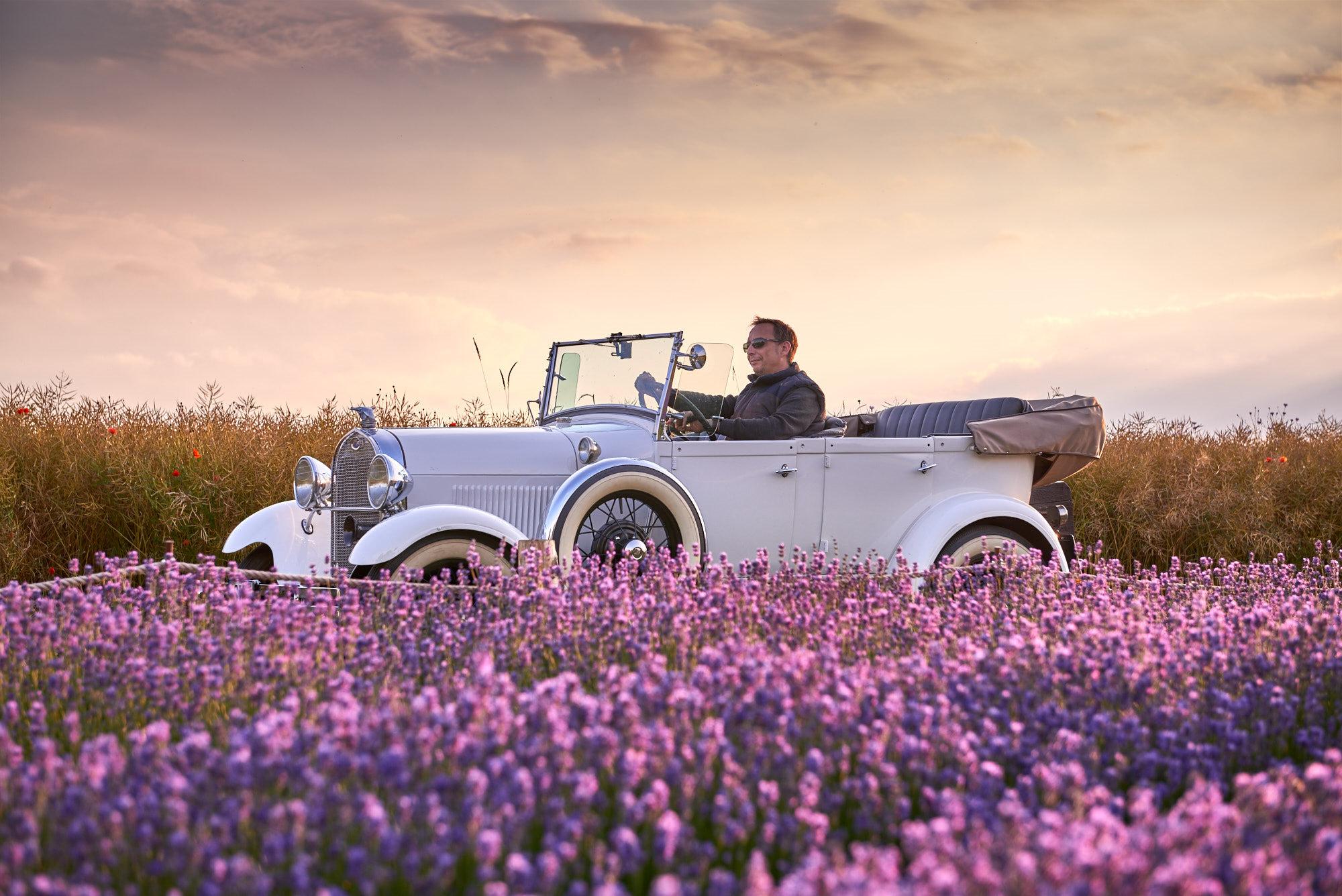 Ein Ford Oldtimer Model A in einem Lavendelfeld by Array.