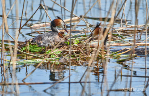 Ein Haubentaucher beim Nestbau auf dem Mattsee im Frühling by AchimMeurer.com .