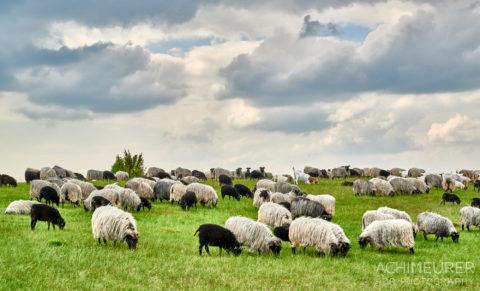Ein Schäfer mit seiner Herde Heidschnucken bei Bispingen in der Lüneburgerheide by AchimMeurer.com .