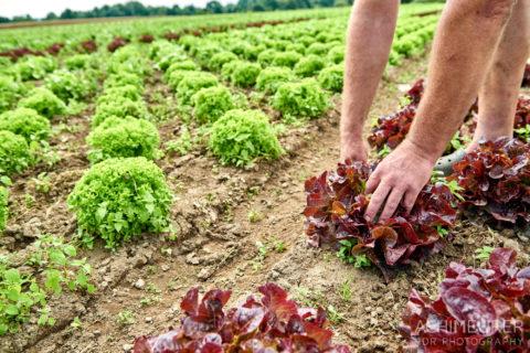 Salat ernten auf den Feldern von der Gemüsescheune Wolfenbüttel by AchimMeurer.com .