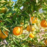 Mandarinen-Plantagen entlang des Flusses Ebro bei Xerta, Tortosa, Katalonien, Spanien by AchimMeurer.com                     .