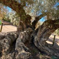 Die ältesten Olivenbäume, Katalonien, Spanien by AchimMeurer.com                     .